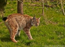 Lynx 2015-9copyright-photographers-on-safari-com