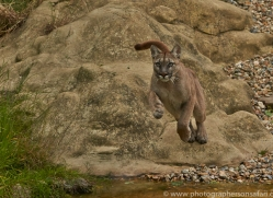 Puma 2015-12copyright-photographers-on-safari-com