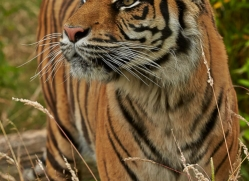 Tiger 2015-52copyright-photographers-on-safari-com