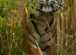 Tiger 2015-54copyright-photographers-on-safari-com