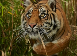 Tiger 2015-55copyright-photographers-on-safari-com