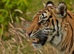 Tiger 2015-57copyright-photographers-on-safari-com
