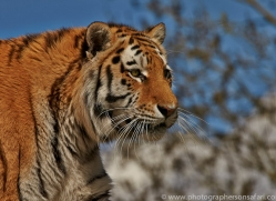 Tiger 2015-62copyright-photographers-on-safari-com