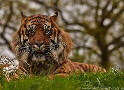 Tiger 2015-65copyright-photographers-on-safari-com