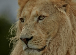 White Lion 2015-2copyright-photographers-on-safari-com