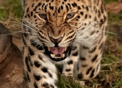 amur-leopard-whf-2325-copyright-photographers-on-safari-com