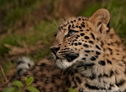 amur-leopard-whf-2327-copyright-photographers-on-safari-com