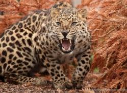 amur-leopard-whf-2337-copyright-photographers-on-safari-com