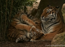 amur-tiger-whf-2296-copyright-photographers-on-safari-com