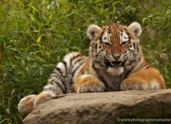 amur-tiger-whf-2305-copyright-photographers-on-safari-com