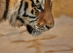 amur-tiger-whf-2307-copyright-photographers-on-safari-com