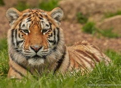 amur-tiger-whf-2309-copyright-photographers-on-safari-com