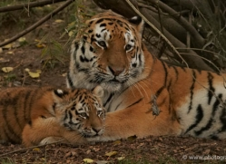 amur-tiger-whf-2313-copyright-photographers-on-safari-com