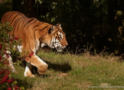 bengal-tiger-whf-2464-copyright-photographers-on-safari-com