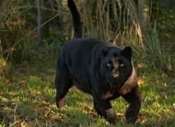 black-leopard-whf-2342-copyright-photographers-on-safari-com