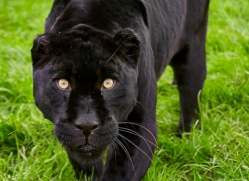 black-leopard-whf-2343-copyright-photographers-on-safari-com