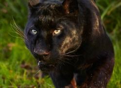 black-leopard-whf-2345-copyright-photographers-on-safari-com