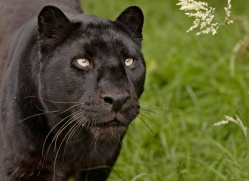 black-leopard-whf-2347-copyright-photographers-on-safari-com