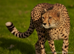 cheetah-whf-2367-copyright-photographers-on-safari-com