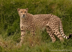 cheetah-whf-2368-copyright-photographers-on-safari-com