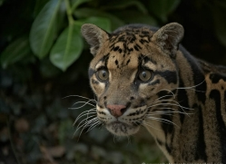 clouded-leopard-whf-2351-copyright-photographers-on-safari-com