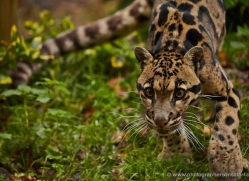 clouded-leopard-whf-2352-copyright-photographers-on-safari-com