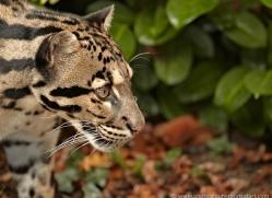clouded-leopard-whf-2354-copyright-photographers-on-safari-com