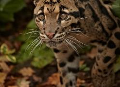 clouded-leopard-whf-2355-copyright-photographers-on-safari-com
