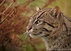 fishing-cat-whf-2360-copyright-photographers-on-safari-com