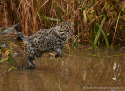 fishing-cat-whf-2363-copyright-photographers-on-safari-com