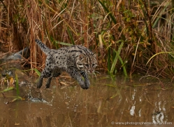 fishing-cat-whf-2364-copyright-photographers-on-safari-com