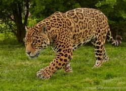 jaguar-whf-2388-copyright-photographers-on-safari-com
