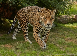 jaguar-whf-2390-copyright-photographers-on-safari-com