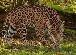 jaguar-whf-2392-copyright-photographers-on-safari-com