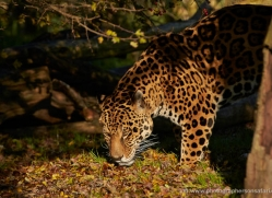 jaguar-whf-2393-copyright-photographers-on-safari-com