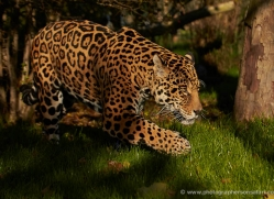 jaguar-whf-2394-copyright-photographers-on-safari-com