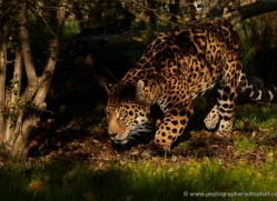 jaguar-whf-2395-copyright-photographers-on-safari-com