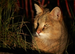 jungle-cat-whf-2377-copyright-photographers-on-safari-com