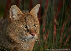 jungle-cat-whf-2379-copyright-photographers-on-safari-com