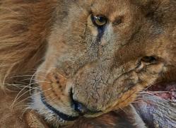 lion-whf-2445-copyright-photographers-on-safari-com