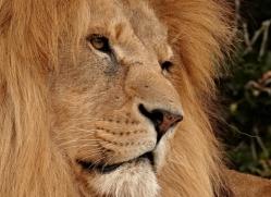 lion-whf-2446-copyright-photographers-on-safari-com