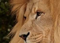 lion-whf-2447-copyright-photographers-on-safari-com