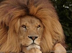 lion-whf-2448-copyright-photographers-on-safari-com