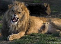 lion-whf-2451-copyright-photographers-on-safari-com