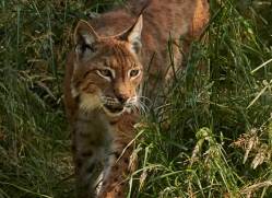 lynx-whf-2380-copyright-photographers-on-safari-com
