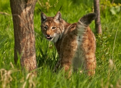 lynx-whf-2381-copyright-photographers-on-safari-com