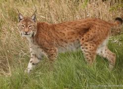 lynx-whf-2383-copyright-photographers-on-safari-com