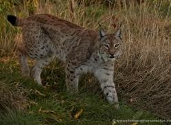 lynx-whf-2386-copyright-photographers-on-safari-com