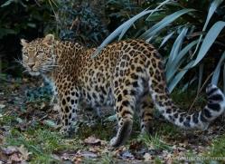 north-chinese-leopard-whf-2340-copyright-photographers-on-safari-com