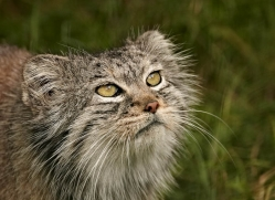 pallas-cat-whf-2401-copyright-photographers-on-safari-com
